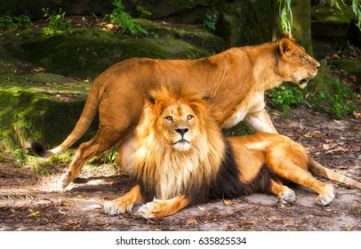 Lion with lioness. Lion family