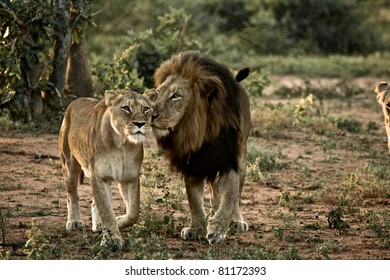 Lion and Lioness at Kruger Narional Park, South Africa