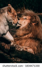 Lion and Lioness making love