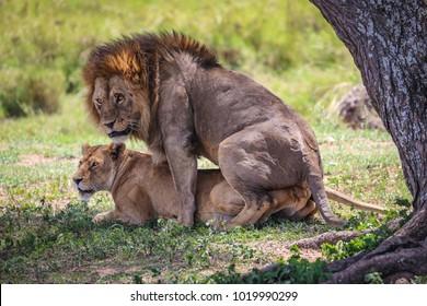 Lion and lioness mating, Serengeti National Park, Tanzania