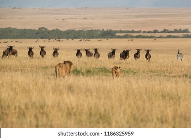 Lion and Lioness near Wildebeests and Zebra during the mating phase, Masai Mara