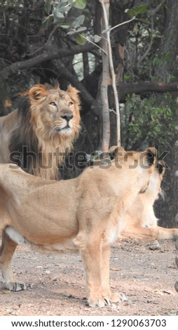 Lion and lioness in