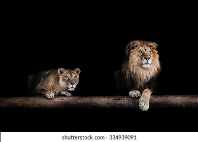 Lion and lioness, Portrait in the dark