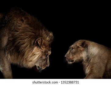 lion and lioness portrait isolated on black background