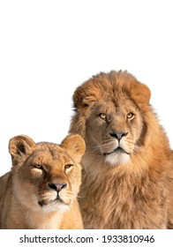 lion and lioness portrait isolated on white background