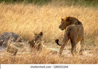 Lion and Lioness in Queen Elizabeth Nation Park, Uganda