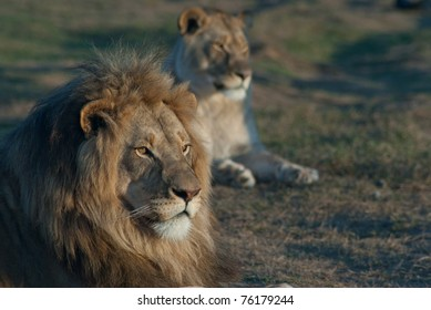 Lion and lioness relax in the South African sun