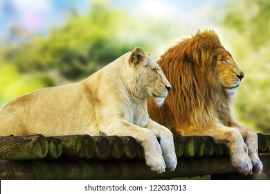 Lion And Lioness Wallpaper Hd