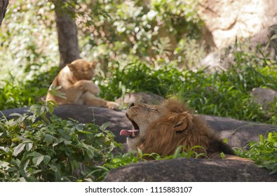 Lion and lioness are resting in the shade of trees, in forest of zoo, Zimbabwe, Africa.