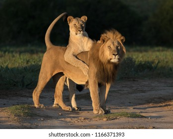 Lion, Lioness, Safari