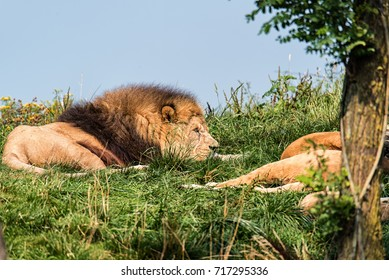 A Lion and Lioness sleeping, resting