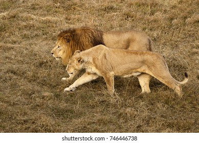 Lion and lioness walk together