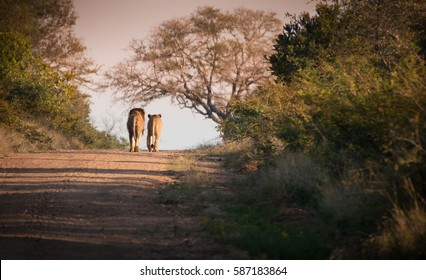 Lion and Lioness walking away together in Kruger National Park, South Africa