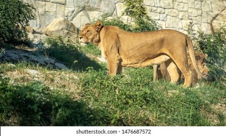 Lion and lioness. Zoo. Safari park
