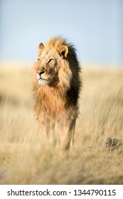 Lion in the long grass that surrounds Halali, Etosha National Park.