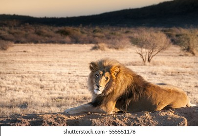 Lion looking at camera on rock in Namibia
