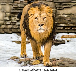 Lion looking forward