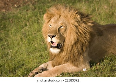 Lion looking impressive in Masai Mara Kenya