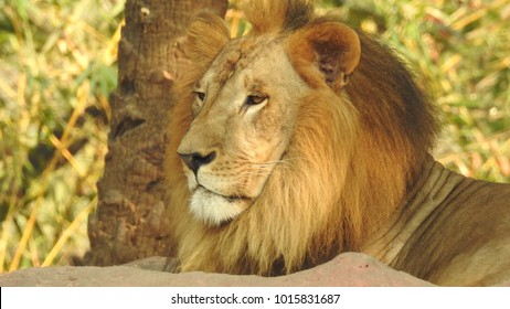lion looking regal standing, closeup photography of wild animal lion with nikon, Strong Looking Wild East African Lion, the jungle king Lion in Nature,Lion king isolated with closeup