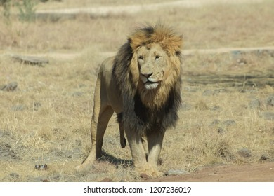 Lion looking right