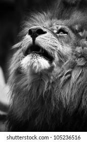 Lion looking upwards in black and white