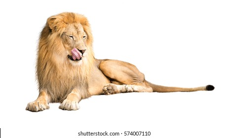 Lion lying down with tongue out to lick lips