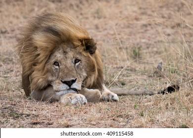 Lion lying in grass taken in the Masai Mara in Kenya