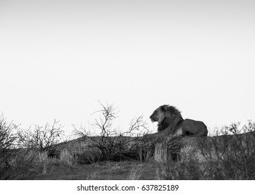 Lion lying on the dunes. In monochrome / black and white.