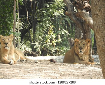 Lion is lying on the grass resting under a tree in forest. lion and lioness together side by side. Lion and Lioness a strange look towards camera in jungle.