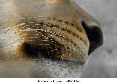 lion macro nose
