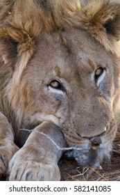 Lion, Madikwe Game Reserve