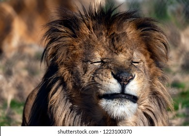 Lion making funny faces.