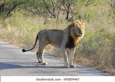 Lion male - the African way