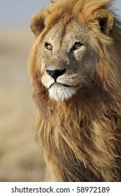 Lion male in his pride, Serengeti, Tanzania