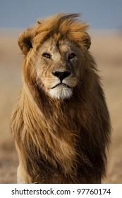 Lion male with large mane, Serengeti, Tanzania