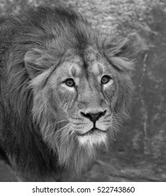 Lion male is looking straight into camera. The young Asian lion on snow background. Winter cold is not bad weather for the King of beasts. Beauty of the wild nature.