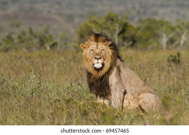 Lion male overlooks grassland