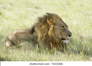 A lion male rests on a grassland with the wind blowing through his mane.