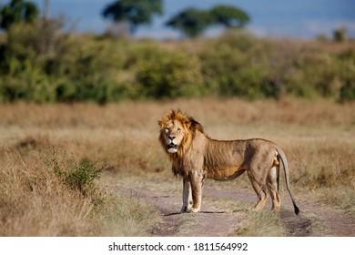 Lion Male standing in the Masai Mara in Kenya
