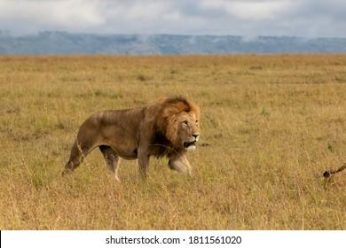Lion Male walking in the Masai Mara in Kenya
