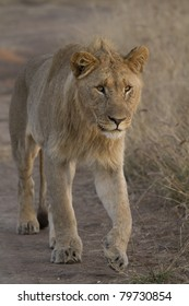 Lion male walking up a road