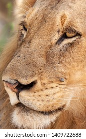 lion mammal of the national parks and nature reserves of south africa