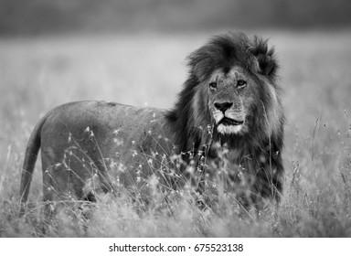 Lion at Masai Mara grassland