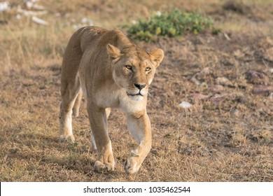 A Lion of the Masai Mara National Park in Kenya.