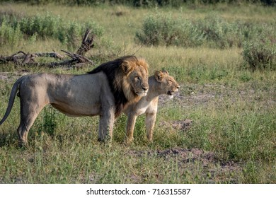 Lion mating couple standing in the grass in the Chobe National Park, Botswana.