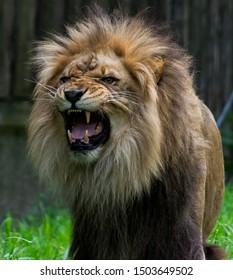 Lion mid roar and fierce