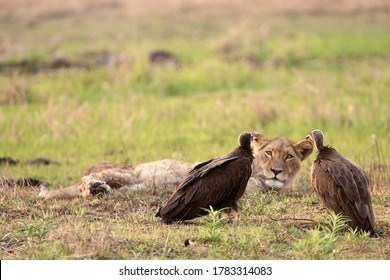Lion in the middle of two vultures