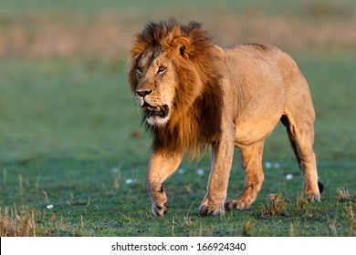 Lion Mohican after a fight with a female on the way back to his pride in Masai Mara, Kenya