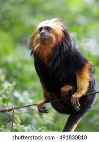 Lion monkey sitting on a tree
