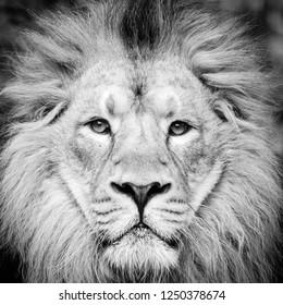 Lion monochrome portrait